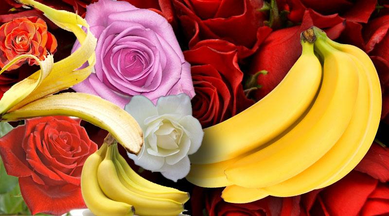 Using Banana Peels on Rose Bushes
